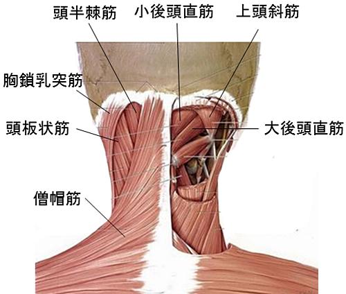 「首肩筋肉」の画像検索結果