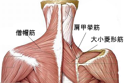 「頚部 筋肉」の画像検索結果